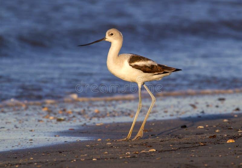 美国长嘴上弯的长脚鸟(美国的Recurvirostra)在日落的海滩 免版税库存照片