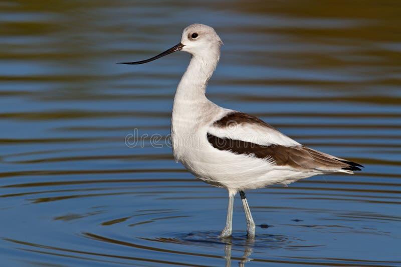 美国长嘴上弯的长脚鸟(美国的Recurvirostra) 库存图片