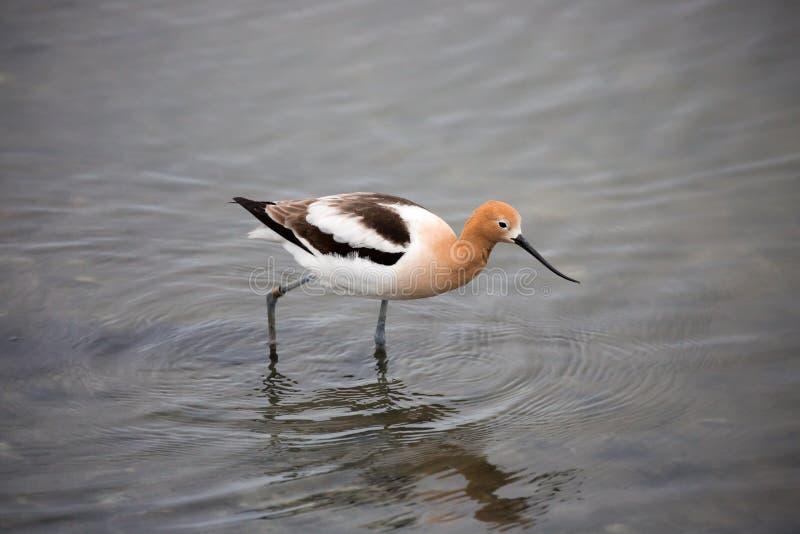 美国长嘴上弯的长脚鸟-美国的Recurvirostra 免版税库存照片