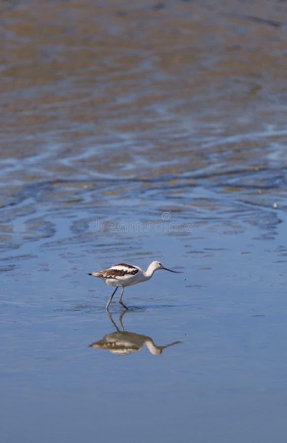 美国长嘴上弯的长脚鸟水鸟,美国的Recurvirostra 免版税库存图片