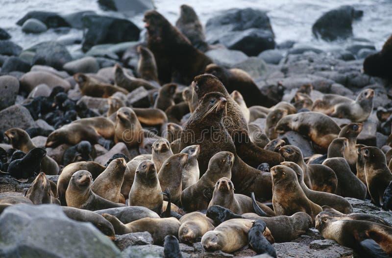 美国阿拉斯加圣保罗北海狗海岛殖民地在岩石岸的 免版税库存图片