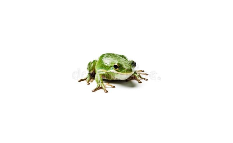 美国青蛙绿色结构树 库存图片