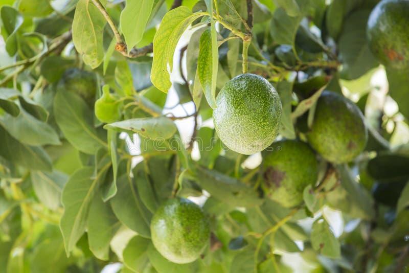 美国鲕梨的鳄梨属是当地的对中南部的墨西哥的树,分类为开花植物fam的成员 免版税库存照片