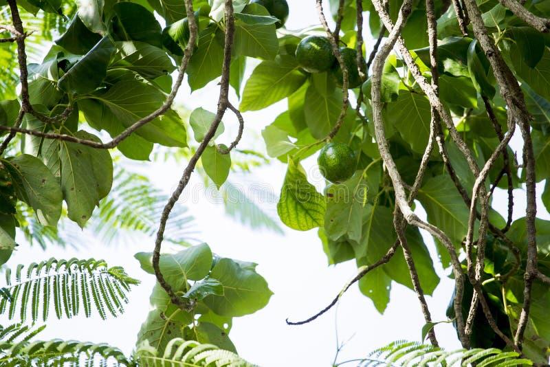美国鲕梨的鳄梨属是当地的对中南部的墨西哥的树,分类为开花植物fam的成员 免版税图库摄影