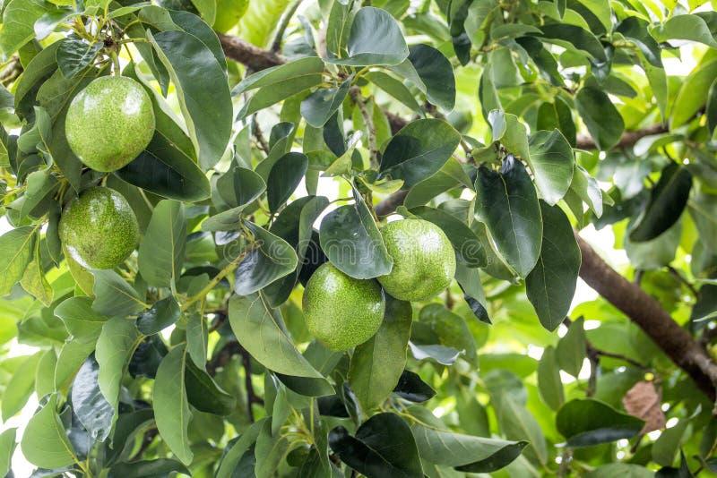 美国鲕梨的鳄梨属是当地的对中南部的墨西哥的树,分类为开花植物fam的成员 免版税库存图片