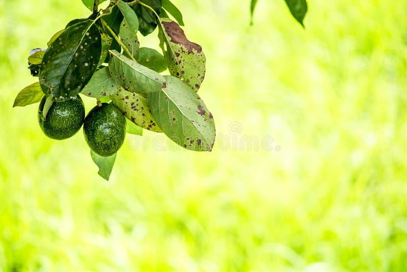 美国鲕梨的鳄梨属是当地的对中南部的墨西哥的树,分类为开花植物fam的成员 库存照片