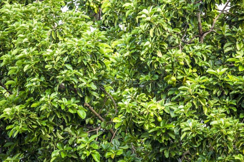 美国鲕梨的鳄梨属是当地的对中南部的墨西哥的树,分类为开花植物fam的成员 库存图片