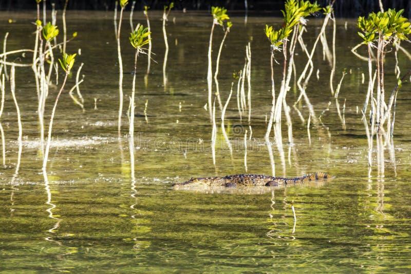 美国鳄鱼 图库摄影