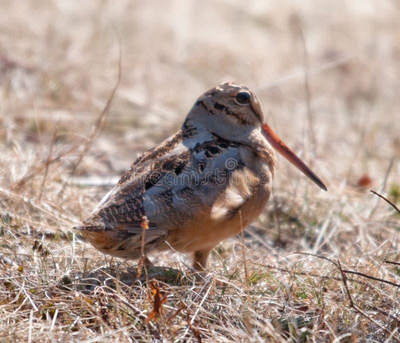 美国鸟鹬 库存照片