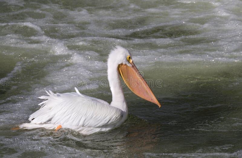 美国鹈鹕白色 免版税库存照片