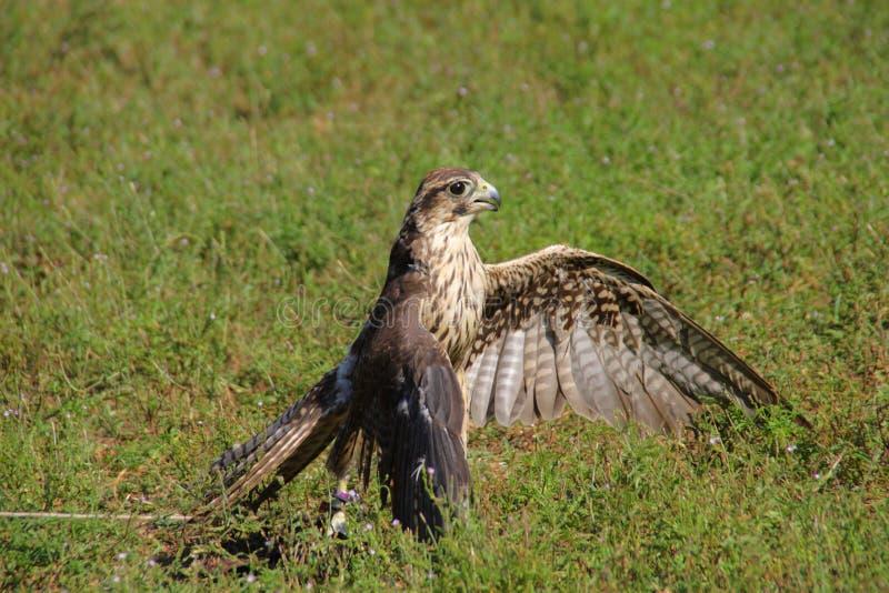 美国鹰 库存照片