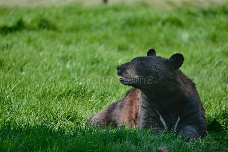 美洲色�_美国黑熊熊属类美洲在森林清洁大局