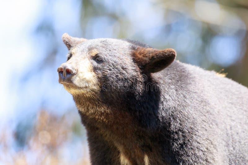 美国黑熊细节 免版税图库摄影