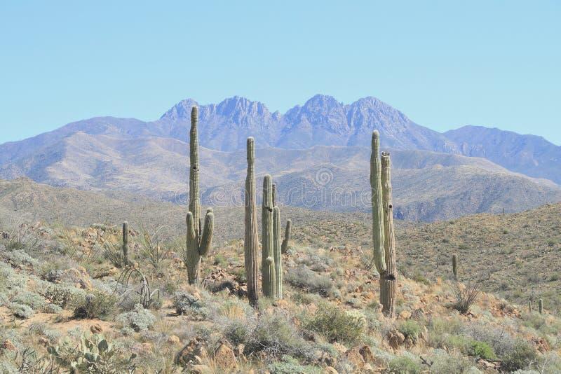 美国,亚利桑那:在四个峰顶山麓小丘的柱仙人掌风景  库存图片