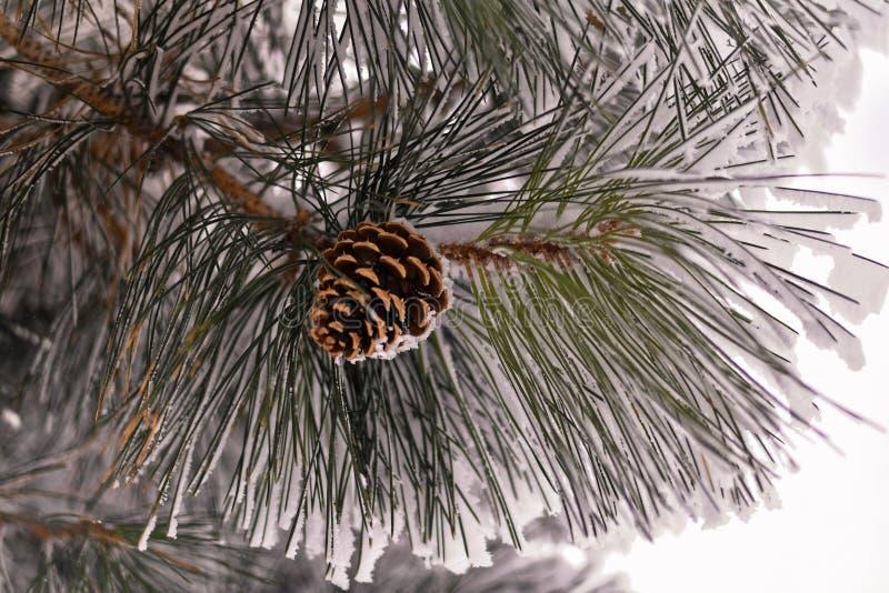 美国黄松树锥体的特写镜头在用霜和雪报道的分支的 库存照片