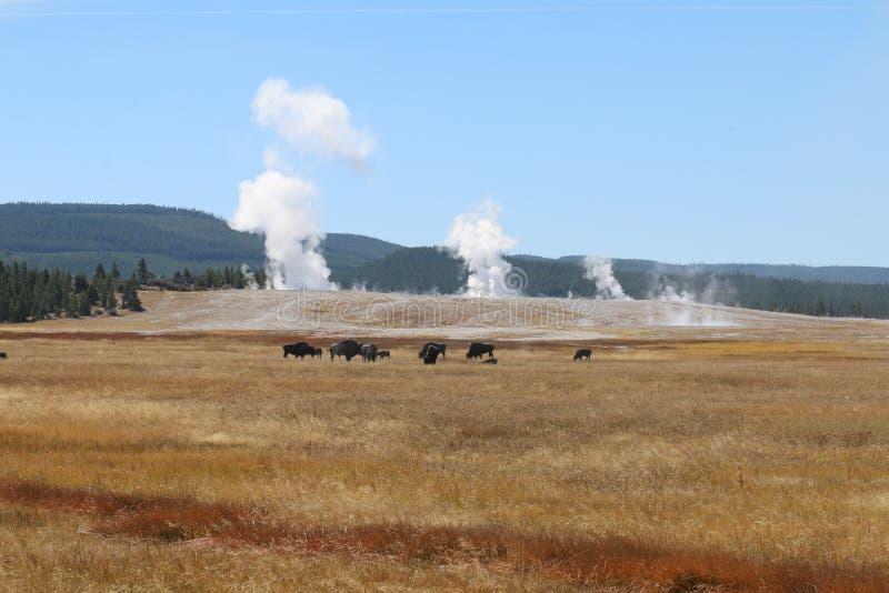 美国水牛北美野牛牧群在黄石国家公园前面更低的水池的一个草甸  免版税库存图片