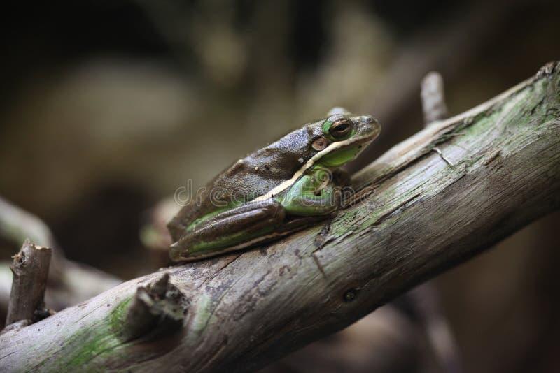 美国绿色雨蛙(灰质的雨蛙) 免版税图库摄影