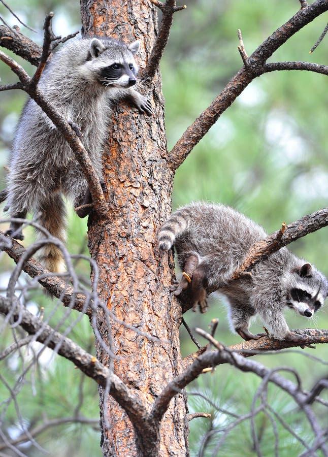 美国nat北部公园浣熊结构树黄石 免版税库存照片