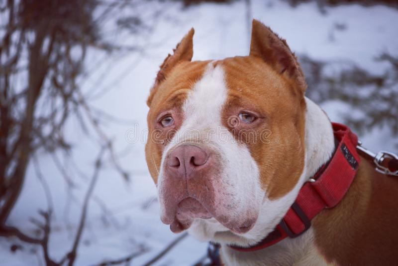 美国pitbull狗 免版税库存图片
