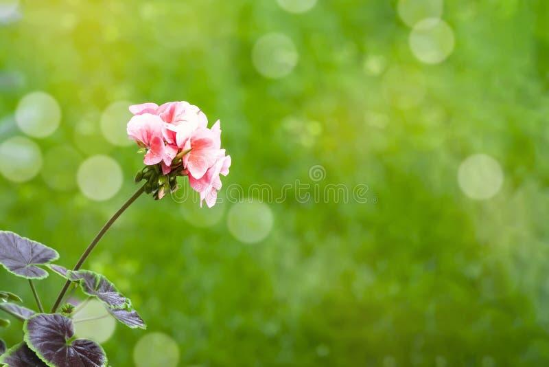 美好天竺葵花开花ingarden 大竺葵花卉生长户外,进展的花艺术设计背景 免版税图库摄影