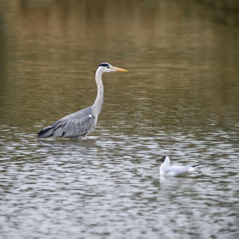 美好捕食的灰色苍鹭Ardea灰质趟过寻找的fi 免版税库存照片