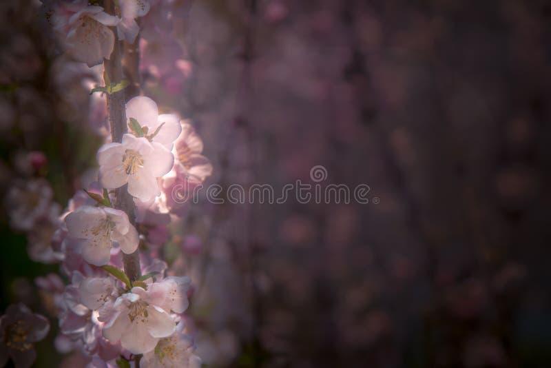 美好樱桃开花 在春天的佐仓开花在蓝天 桃红色迷离 特写镜头春天花 图库摄影