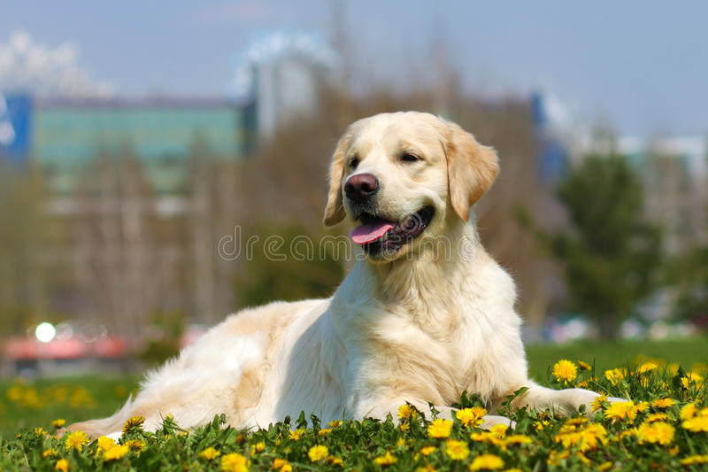 美好狗品种金毛猎犬说谎 库存照片