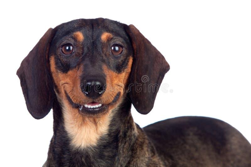 美好狗teckel微笑 库存照片