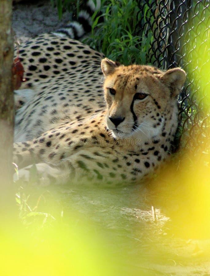 美好猎豹放松 免版税库存照片