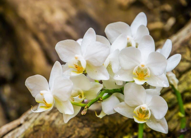 美好白色蝴蝶兰花卉生长在特写镜头,从亚洲的普遍的花,自然背景的一棵树 库存照片