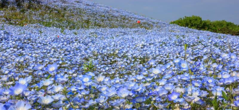 美好的五颜六色的野花背景:浅蓝色眼睛花nemophila领域,日立海滨公园,茨城,日本 免版税库存图片