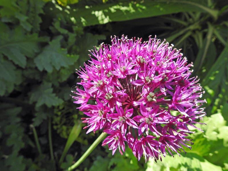 美好的俏丽的桃红色淡紫色紫色花葱属植物 库存图片
