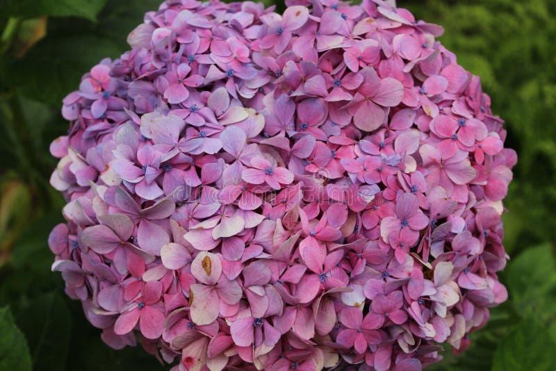 美好的八仙花属flowerhead 免版税库存照片