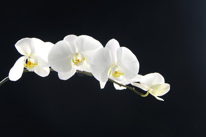 美好的兰花白色 免版税库存照片