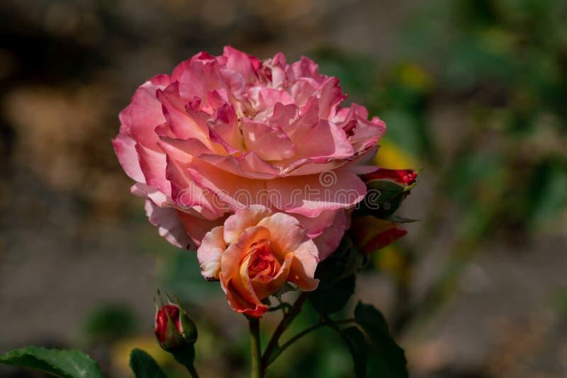 美好的关闭一首唯一桃红色和黄色夏天歌曲上升了头状花序 库存图片