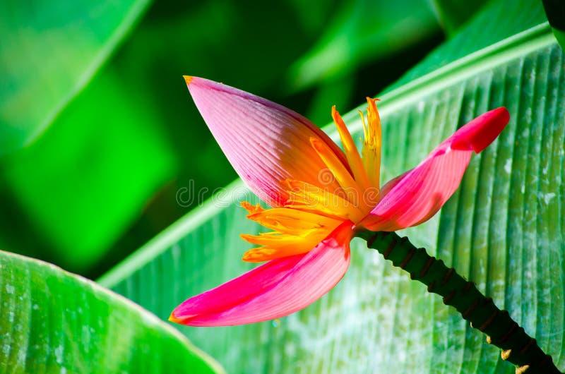 美好的关闭开花的桃红色香蕉花芭蕉科Velutina在一个热带植物园里 免版税库存照片