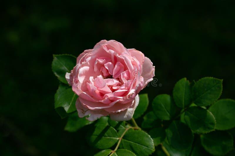 美好的关闭灰姑娘的唯一桃红色玫瑰色头状花序上升了 免版税库存图片