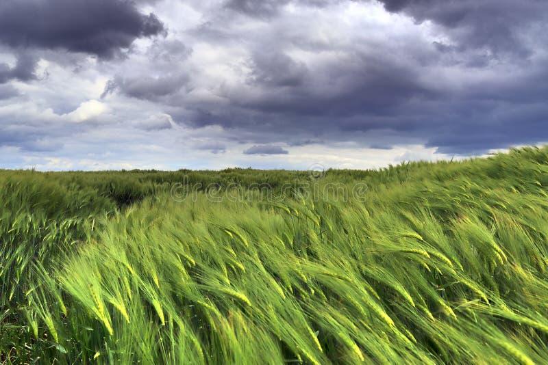 美好的关闭移动风的一个农业麦子庄稼领域 库存图片