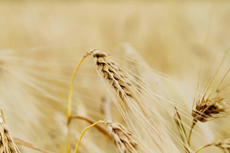 美好的关闭覆盖麦子的耳朵重点成熟有选择性的天空 库存照片