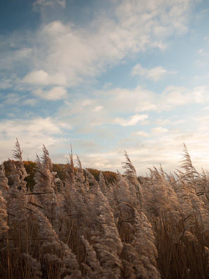 美好的关闭金黄豪华的草用茅草盖在大局上的天空 免版税库存图片