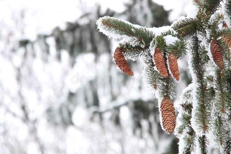 美好的冬天背景,用雪盖的松树,.图片