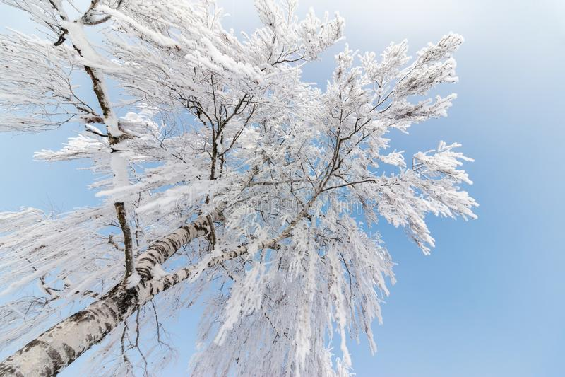 美好的冬天风景:冷淡的树在1月,奥地利 r 免版税库存照片