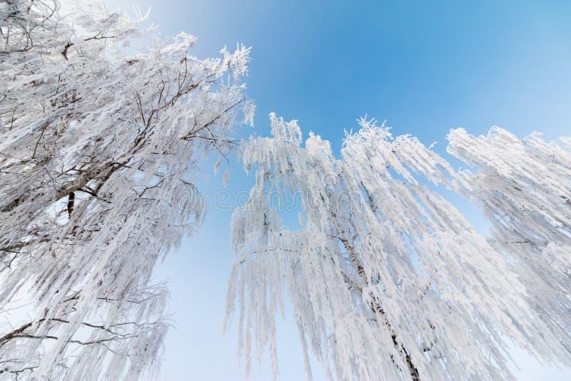 美好的冬天风景:冷淡的树在1月,奥地利 r 库存图片