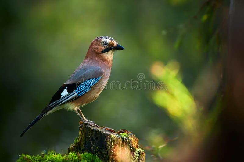 美好的图片欧亚混血人杰伊Garrulus glandarius 鸟在一个深森林里坐树桩 库存图片