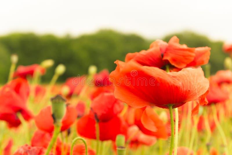 美好的在夏天领域的红色开花的花风景  库存照片