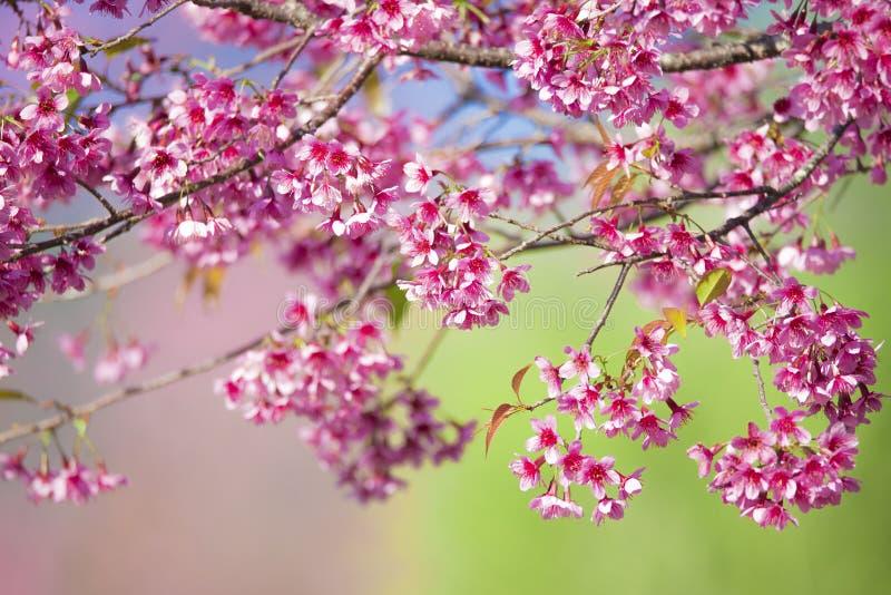 美好的在早晨阳光背景,春天花田背景的绽放桃红色樱花佐仓花 库存照片