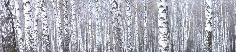 美好的场面全景照片与桦树的在秋天桦树森林里在11月 免版税库存图片