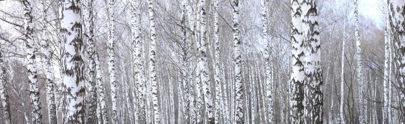美好的场面全景照片与桦树的在秋天桦树森林里在11月 免版税图库摄影