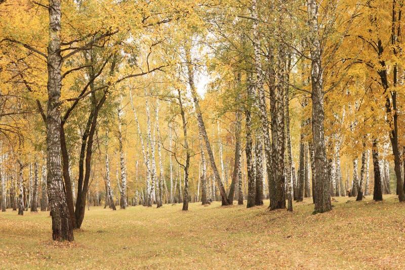美好的场面在黄色秋天桦树森林里在与下落的黄色秋叶的10月图片