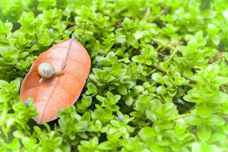 美好的夏天早晨自然风景 小棕色蜗牛沿干燥叶子植物刀片绿色的爬行 图库摄影